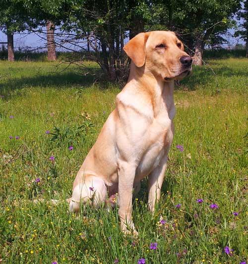 Yellow Labrador retriever stud dog